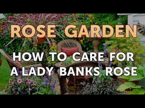 How to Care for a Lady Banks Rose