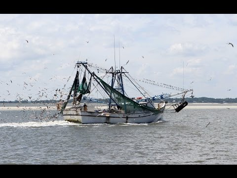 What Do Shrimpers Catch   Other Than Shrimp?