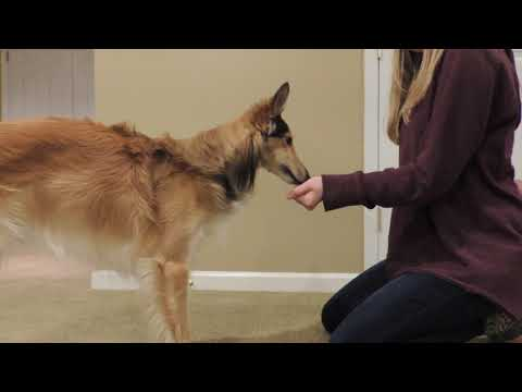 LEAVE IT! How-to train with silken windhound