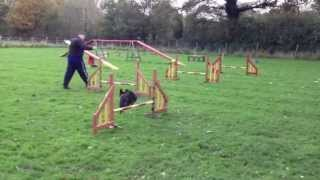Staffordshire Bull Terrier Dottie Agility Training.mov