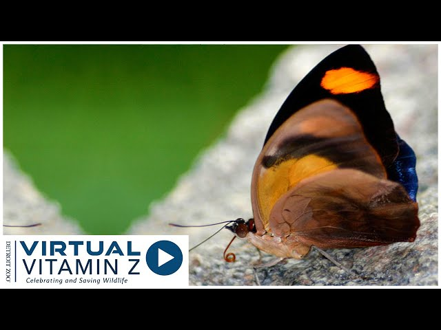 Virtual Vitamin Z | Explore and learn about the butterfly garden at the Detroit Zoo Part 2