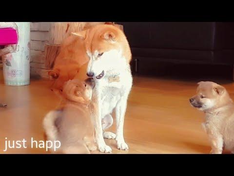 My life is potato. Ep 09 / Shiba Inu puppies