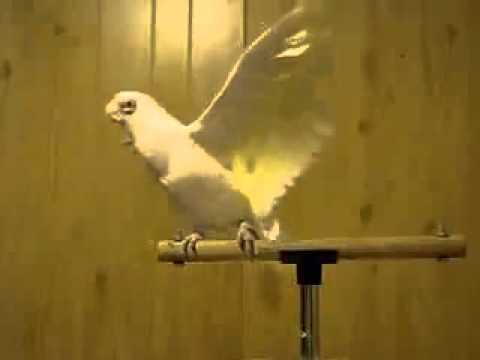 Lungi dance by white parrot ..
