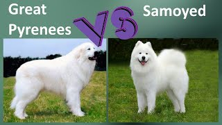 Great Pyrenees VS Samoyed  Breed Comparison  Great Pyrenees and Samoyed Differences