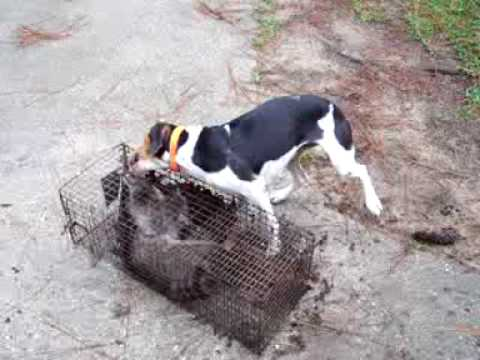 dixie on a cage coon
