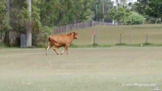 Une vache attaque des joueurs de football