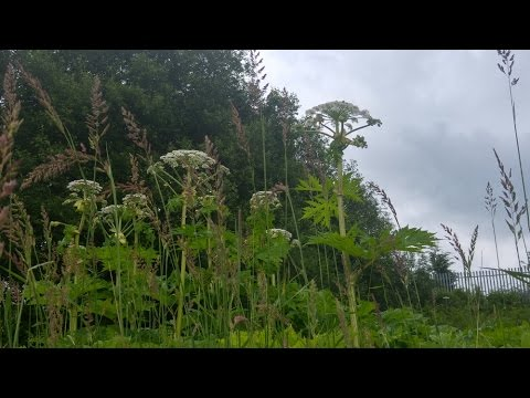 The Most Dangerous Plant in Britain! - Giant Hogweed