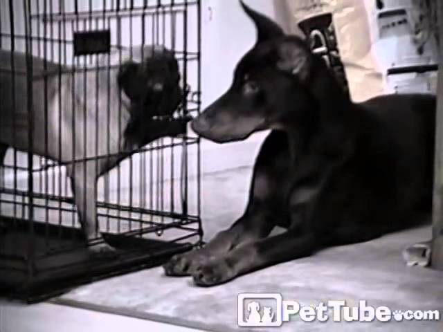 Doberman Frees His Playmate- PetTube