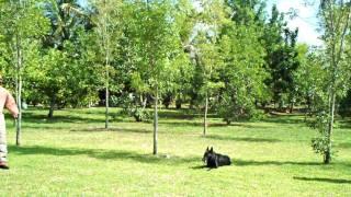 Police Dog Attack Dog Training - German Shepherd Ruckus On The Attack