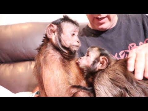 Capuchin Monkeys Friday Night Date Night! MONKEY LOVE