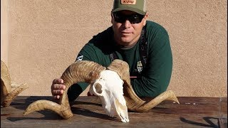 HOW TO CLEAN A RAMBOUILLET SHEEP SKULL