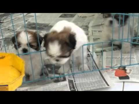 """""""Funny"""", my shih tzu puppies (5 weeks old) are trying to get out from the cage"""