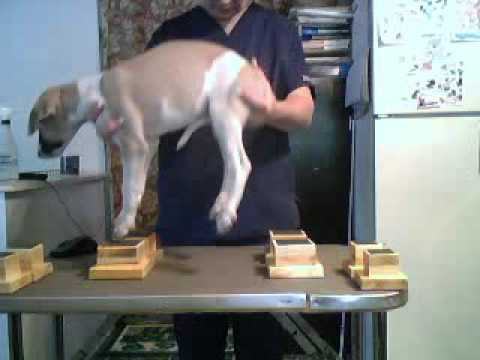 Whippet Puppy 7 On Neat Feet Show Dog Stacking Blocks Youtube