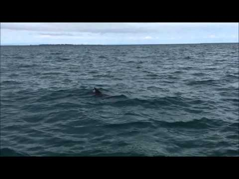 Dolphins around us in Moreton Bay, Queensland fishing.