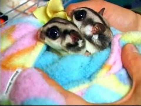 sugar gliders as pets what is a sugar glider youtube