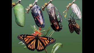 CI 100 final project Digital Movie (Life cycle of a butterfly)