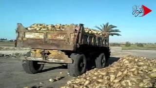 فيديو وصور| مزارعو البنجر في الدقهلية: «شركة السكر خربت بيوتنا»