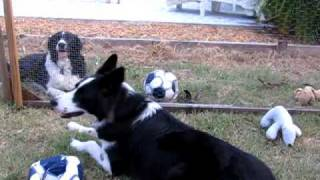 Border collie puppy torture