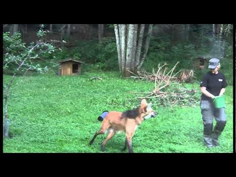 Feeding the Maned wolf - Nordens Ark