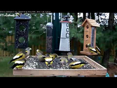 Evening Grosbeaks Take Over Ontario - Nov. 8, 2016
