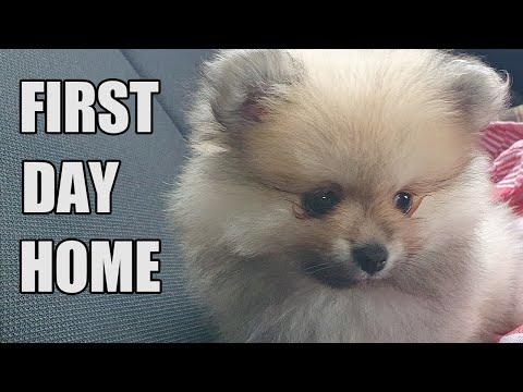 Meet My 2 New Pomeranian Puppies Youtube