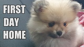 8 week old Pomeranian Puppy   FIRST DAY HOME!