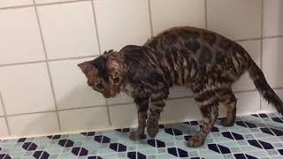 Бенгал купается Питомник бенгальских кошек Crimean Pride