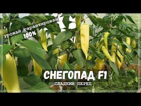 Перец СНЕГОПАД F1| Ранний, высокоурожайный перец для холодных регионов