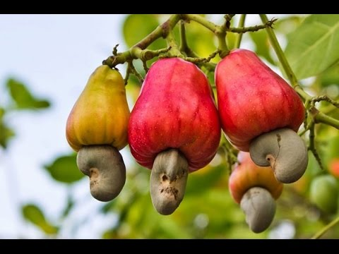 Eating a Raw Cashew Fruit in Cambodia - YouTube