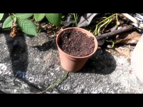 How to plant Desert Rose