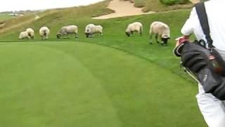 Kohler Golf - Whistling Straits - Sheep on the 10th green