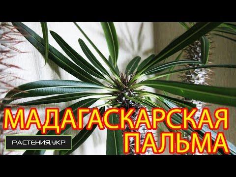 Мадагаскарская пальма / Пахиподиум ламера