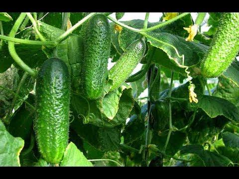 НОВОЕ УДОБРЕНИЕ ДЛЯ ОГУРЦОВ!ОЧЕНЬ ЭФФЕКТИВНАЯ ПОДКОРМКА! | нашатырный | урожайный | удобрение | суспензия | подкормка | теплица | татьяны | рассада | урожай | огурец