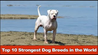 Top 10 Strongest Dog Breeds In The World