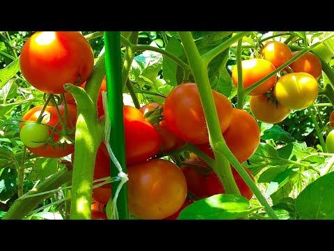 Вопрос: Как часто поливать помидоры во время плодоношения?