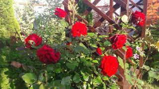 Лучшие соседи для роз.  Примеры готовых композиций .
