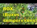 Plant profile: Buxus sempervirens - common box, European box, or boxwood