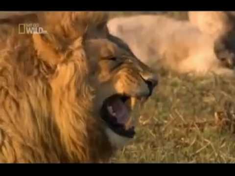 Lion laugh Hahahaha