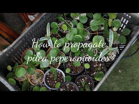필레아 페페로미오이데스 자구 번식 방법 How to Propagate Pilea peperomioides