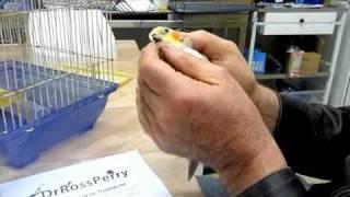 Birds Cockatiel Beak Deformity & Mouth Abscess #1 100810