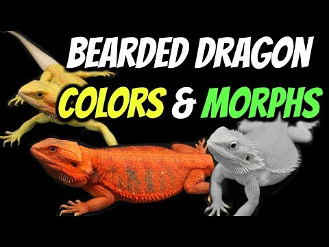 Types of Bearded Dragons - Colors & Morphs Explained