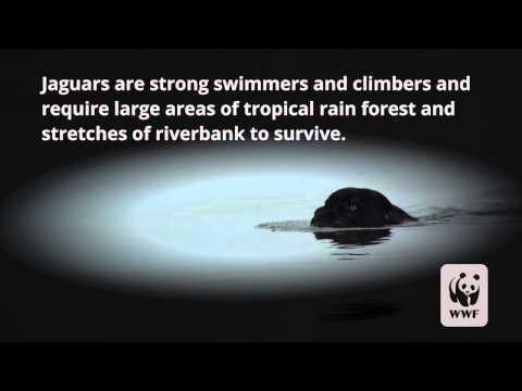 Rare Black Jaguar Sighting as Big Cat Takes Cross-River Swim