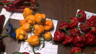 Chili Harvest July 28 2011