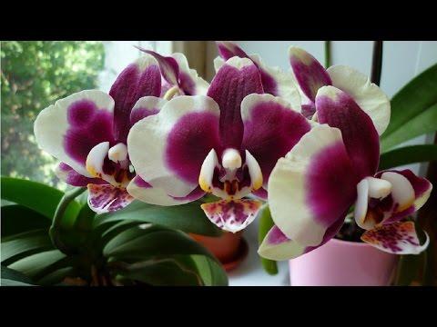 Янтарная кислота для орхидеи. Как применять.