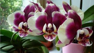 Янтарная кислота для орхидей: как развести и правильно использовать?