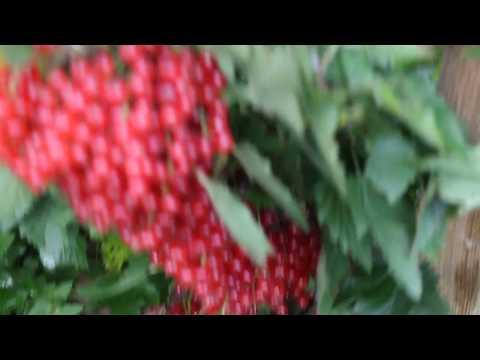 Мой урожай красной смородины .Как омолодить куст и повысить урожай КРАСНОЙ СМОРОДИНЫ .