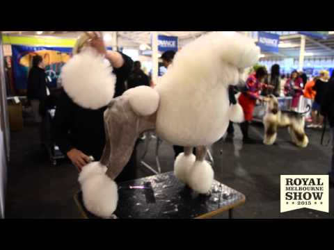 Poodles at the 2015 Royal Melbourne Show All Breeds Dog Championship