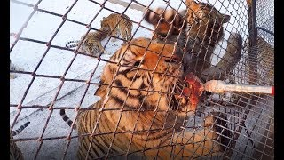 Feeding Siberian Tigers at Harbin Tiger Park (China)