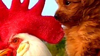 Baby Dogs  Lindo y divertido perro #shorts de pollo