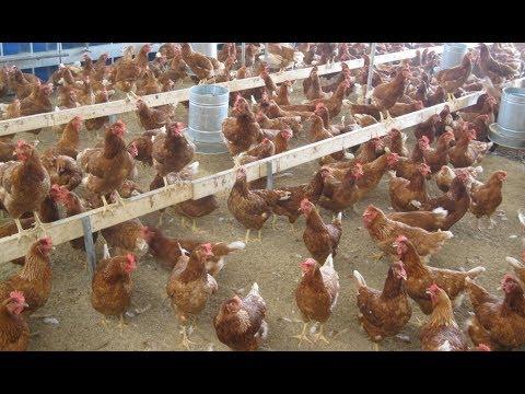 ON THE FARM Commercial Poultry Farming The MORNING Shift Enkoko Kumakya Kuku